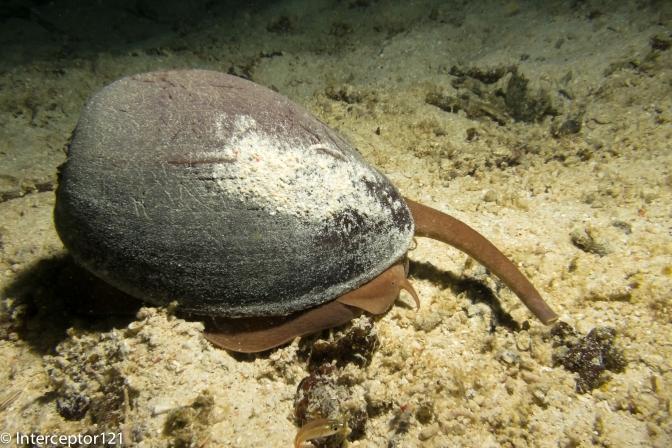 Massive Snail