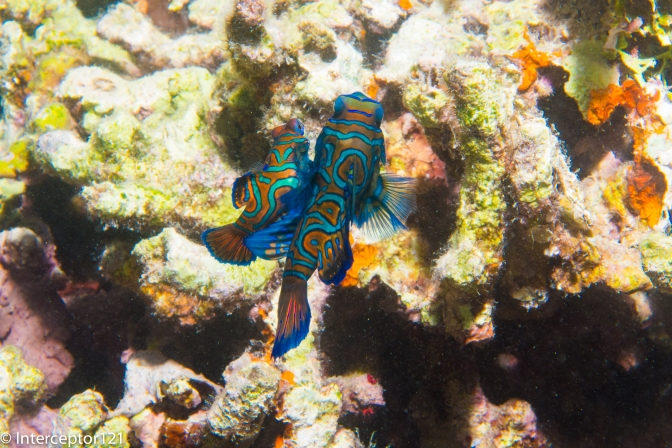 Tips for capturing Mating Mandarin Fish