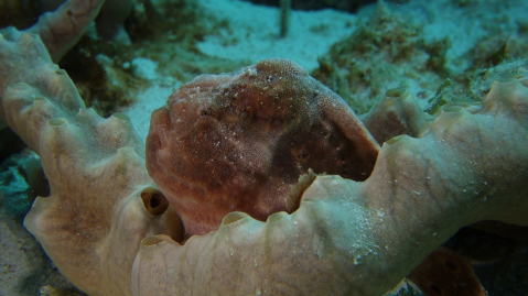 Frogfish at f/11