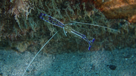 Pedersen Shrimp