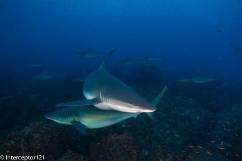 Galapagos Shark Watching me