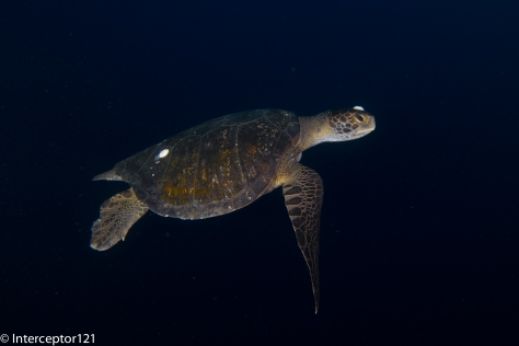 Turtle with twin strobes