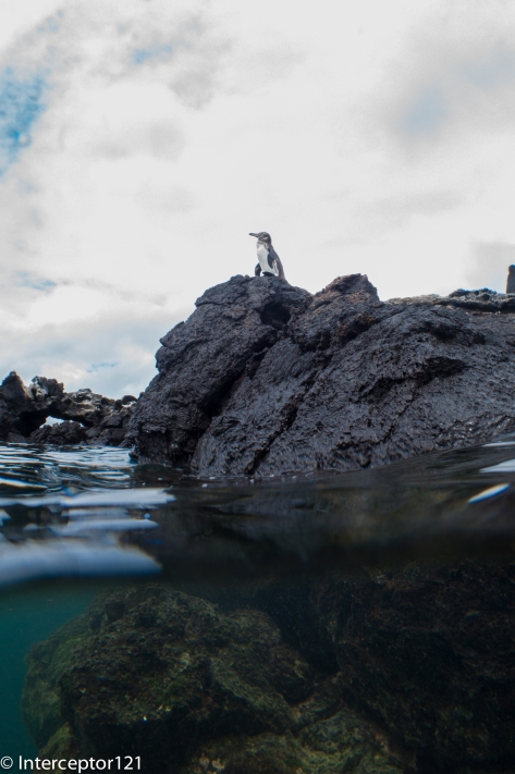 Galapagos Penguin Split Shot