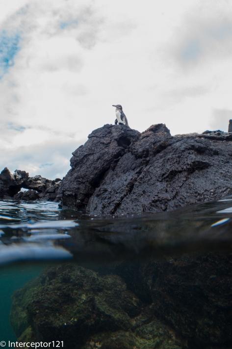 Galapagos Penguin Split Shot