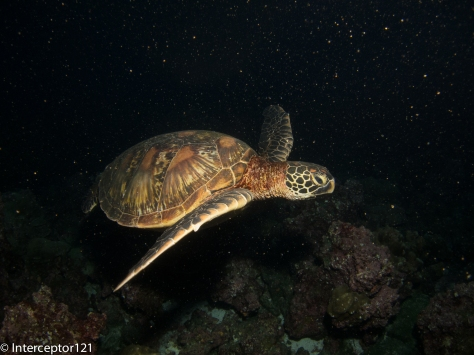 "Turtle with single strobe 8"" arm"