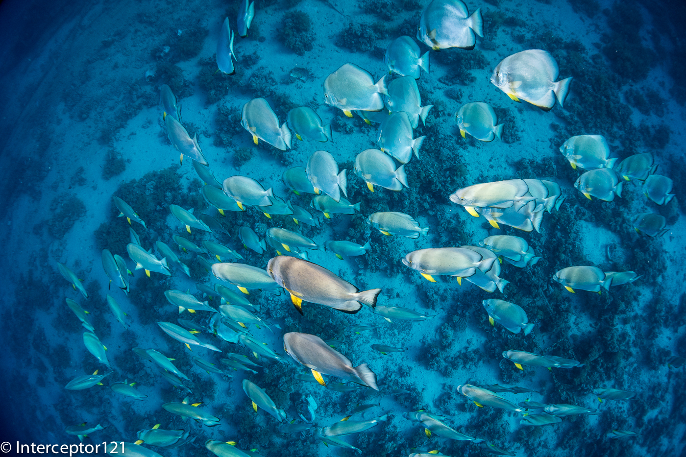 Batfish school from Top