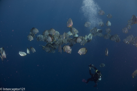 Shooting Batfish Below