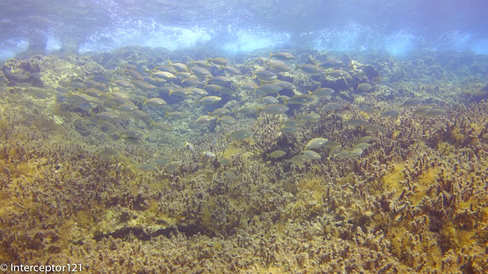 Schooling Fish 100 fov